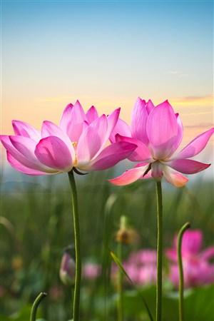 粉色荷花鲜花图片