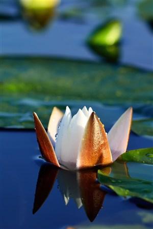 水面露出半朵荷花鲜花图片