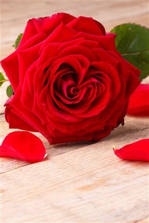一只紅色玫瑰鮮花圖片