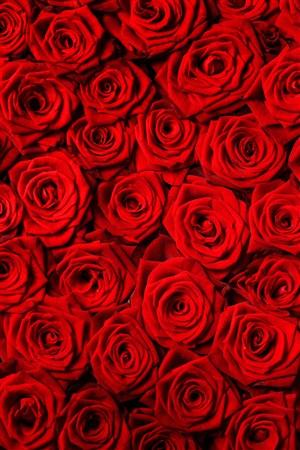 99朵紅色玫瑰鮮花圖片