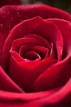 蓓蕾初開紅色玫瑰鮮花圖片