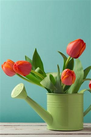 澆花壺子里的郁金香鮮花圖片