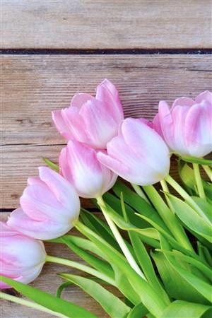 愛的表白粉白郁金香鮮花圖片