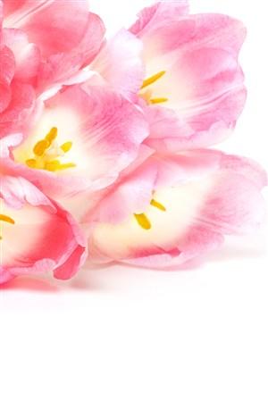 渐变粉色郁金香鲜花图片
