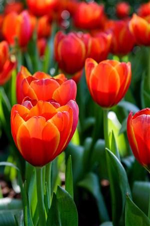 早晨含苞待放的郁金香鲜花图片