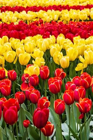黄色红色花海郁金香鲜花图片