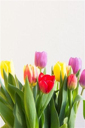 色彩斑斓花束郁金香鲜花图片