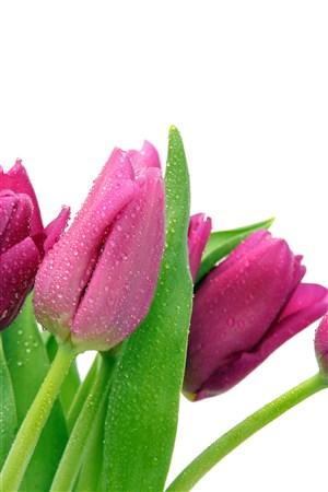 迷人的郁金香鲜花图片