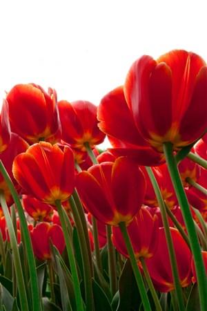 植物花卉郁金香鲜花图片