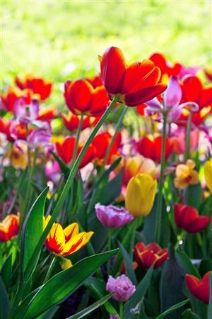 争红斗紫郁金香鲜花图片
