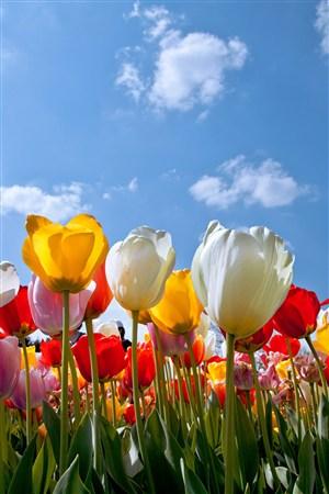 向着天空的郁金香鲜花图片
