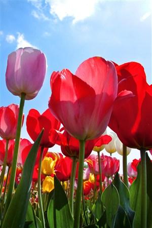 浪漫的郁金香鲜花图片