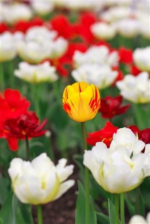 純潔高貴的郁金香鮮花圖片