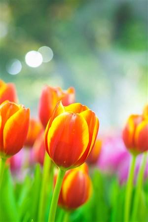 郁金香鲜花图片手机壁纸