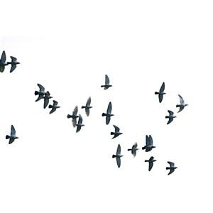 一群鸽子免抠图片