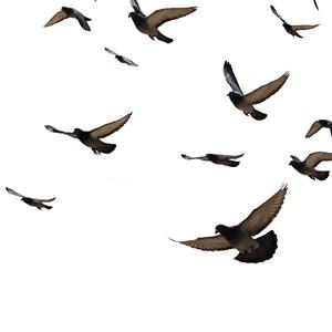 天空飞翔的鸽子免抠图片
