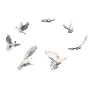 白鸽飞行鸽子免抠图片