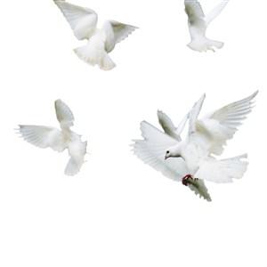 天空飞翔的鸽子PNG空底鸽子图片