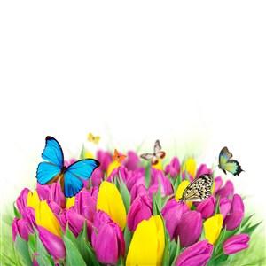 郁金香和花蝴蝶图片
