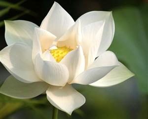 白色莲花植物图片