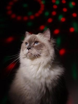 布偶猫咪图片
