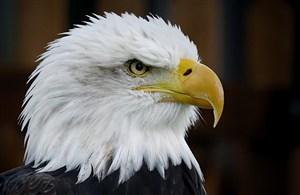 美国白头鹰鸟图片