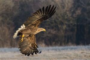 展翅飞翔的鹰鸟图片