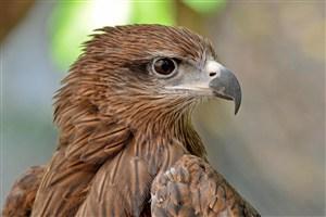 侧脸的老鹰鸟图片