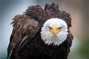 美国象征动物白头鹰鸟图片