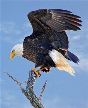 美国白头海雕鸟图片