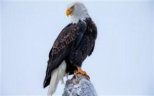 站在石头上的白头海雕鸟图片