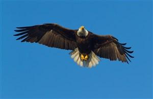 在空中飞的老鹰鸟图片
