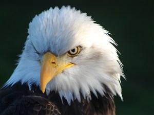 白头鹰侧脸鸟图片