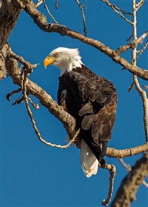 高清白头鹰老鹰鸟图片
