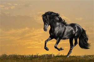 高清黑色健康强壮的骏马图片
