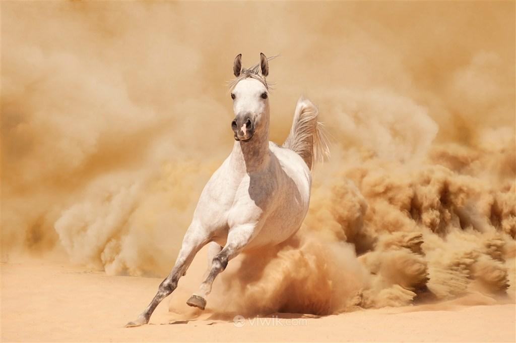 野生骏马动物图片